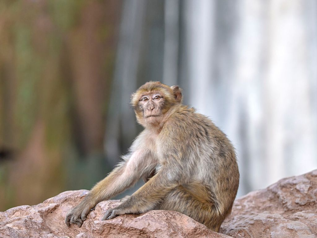 Wild Barbary monkeys
