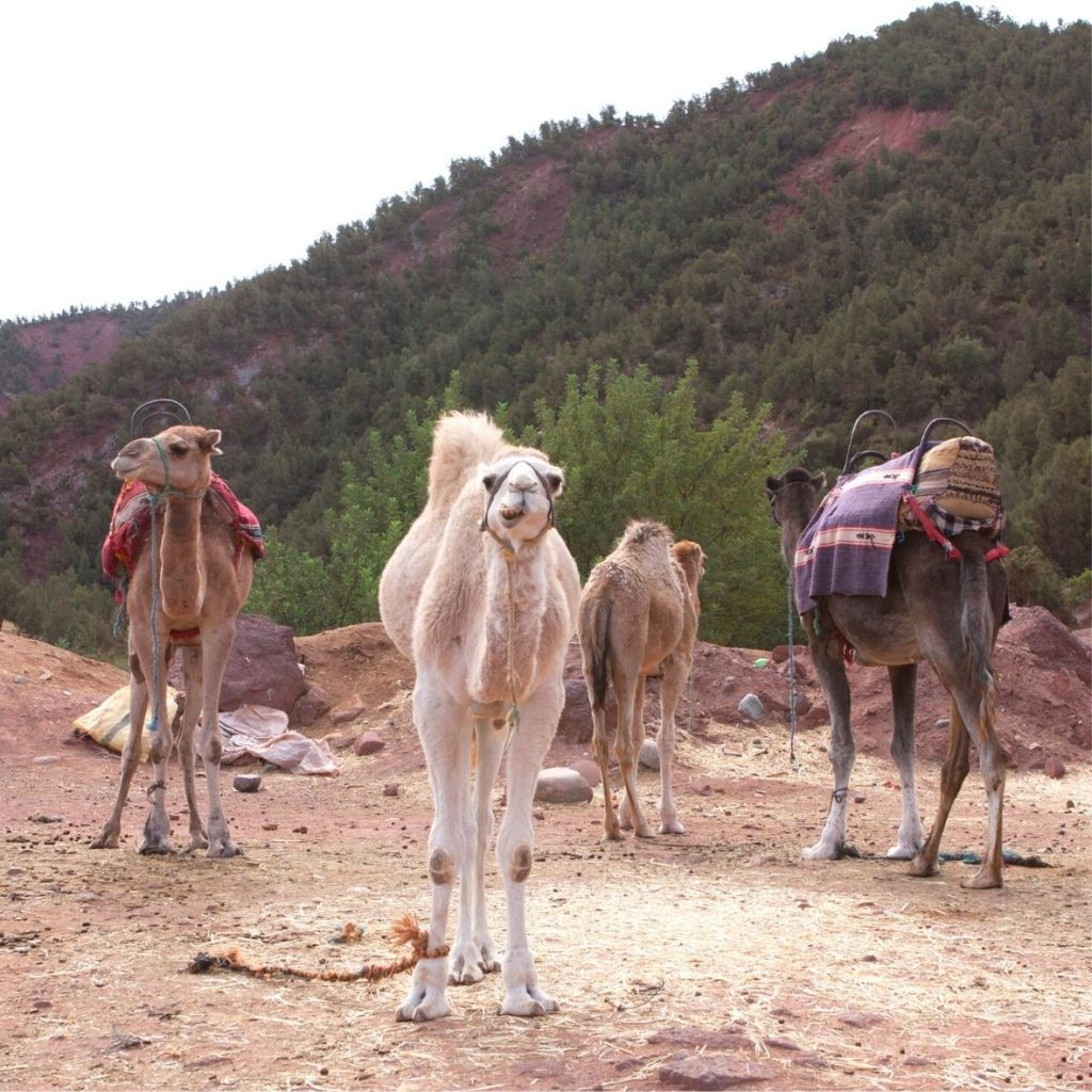 Camel ride in Ourika Valley
