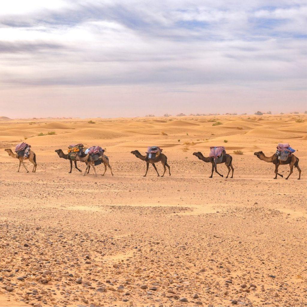 Camel trekking Mhamid